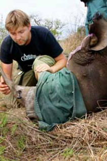 "To track them, he painlessly drilled holes (top) into the horns of 14 rhinos and inserted radio transmitters. ""Rhino horns are made of hair, and grow like fingernails, so eventually the transmitters pop out,"" says Roan, who has studied the behaviour of 70 rhinos."